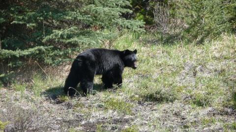 Een zwarte beer langs de kant ven de weg